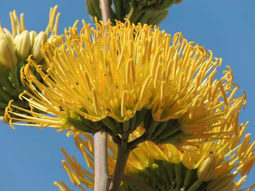 inflorescence of Agave desertii