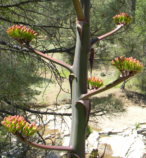 Flower buds about to open, Parry agave, Agave parryi, photo © by Mike Plagens