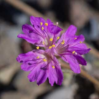 Inflorescence of Alionia incarnata photo by Allan Ostling