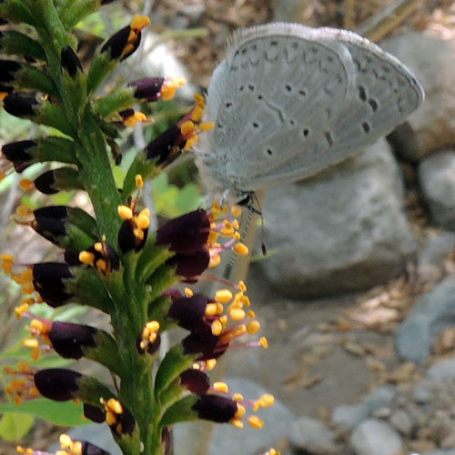 flowers of False Indigo Bush, Amorpha fruticosa, visited by an Azure Butterfly, Celastrina echo, photo © by Michael Plagens