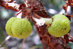 unripe fruit of Arizona Madrone, Arbutus arizonica, © by Michael Plagens