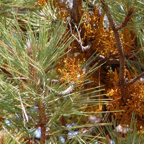 Pineland Dwarf Mistletoe, Arceuthobium vaginatum, photo © by Mike Plagens
