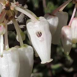 Arctostaphylos flower with hole cut into side