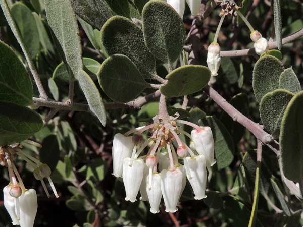 Point-leaf Manzanita, Arctostaphylos pungens, © by Michael Plagens