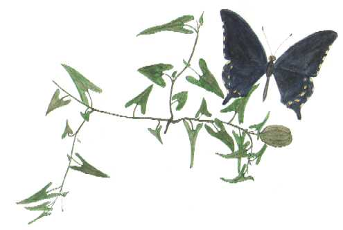 Battus philenor butterfly with Aristilochia Watercolor © by Michael Plagens