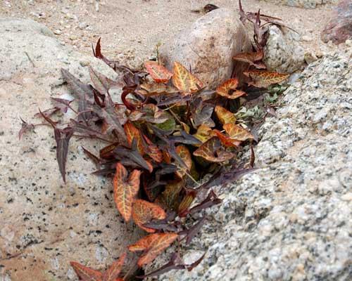 Aristolochia watsoni photo © by Mike Plagens.