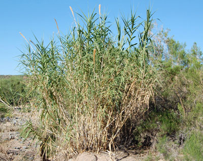 Arundo donax photo © by Mike Plagens
