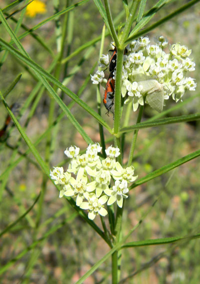Horsetail Milkweed, Asclepias subverticillata, photo © by Mike Plagens
