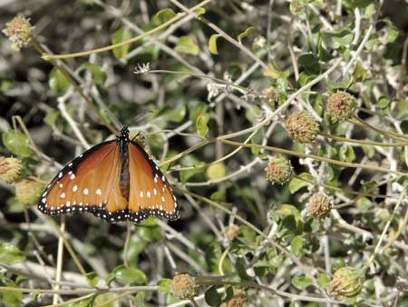 queen butterfly at Bahiopsis parishii