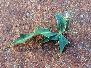 Leaf of Berberis/Mahonia haematocarpa photo © by Michael Plagens