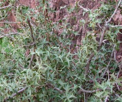 Berberis harrisoniana photo by Mike Plagens