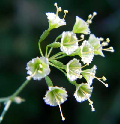 Climbing Wortclub, Boerhavia scandens, photo © by Michael Plagens