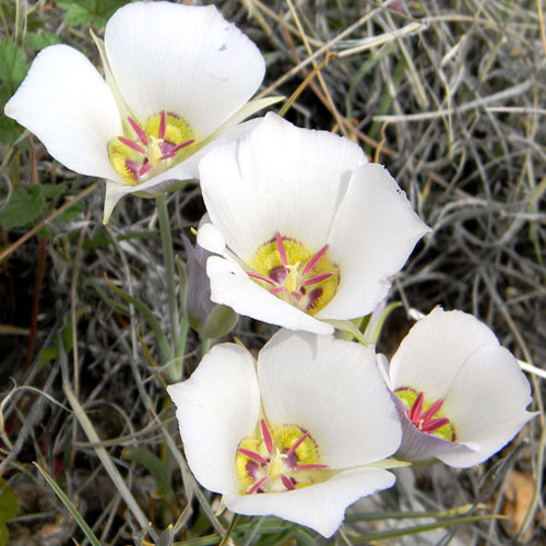 Doubting Mariposa Lily