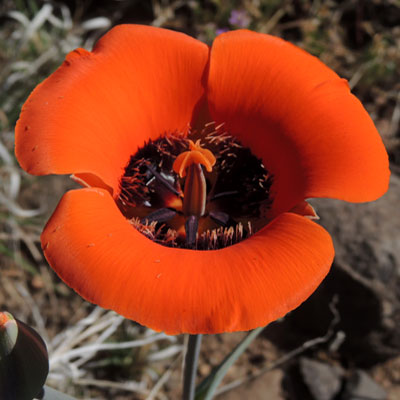 Desert Mariposa Lily