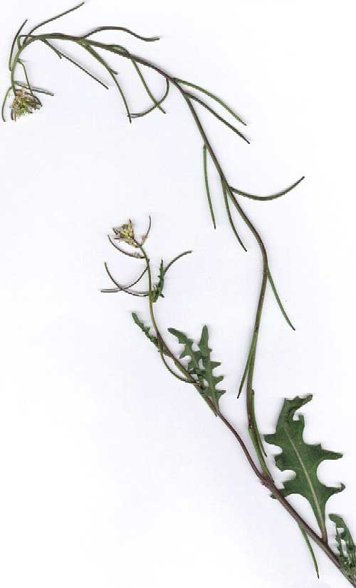 California Mustard, Guillenia lasiophylla, scan © by Michael Plagens
