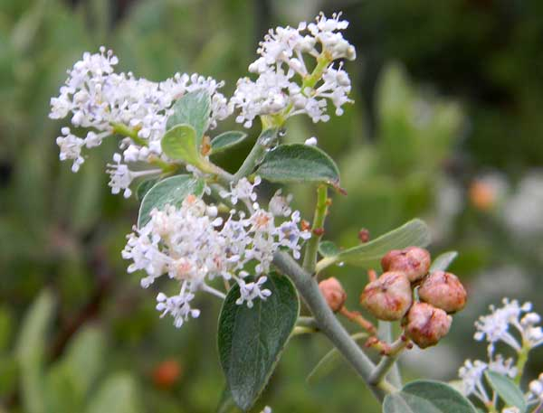 Buck-brush, Ceanothus fendleri,  photo © by Mike Plagens