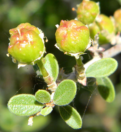 Leaves and developing fruit of Ceanothus greggii photo © by Michael Plagens
