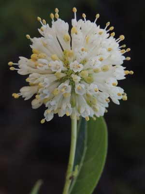 spherical inflorescence of Cephalanthus occidentalis photo by Mike Plagens