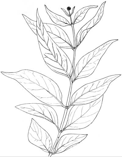 Cephalanthus occidentalis, Pen & Ink Illustration © by Michael Plagens