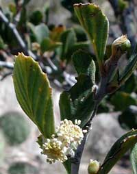 flowers of mountain mahogany