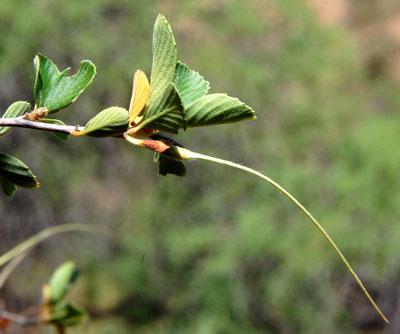 mature fruit of mountain mahogany