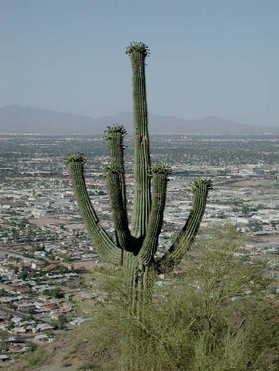 mature saguaro, Cereus gigantea, Photo © by Michael Plagens