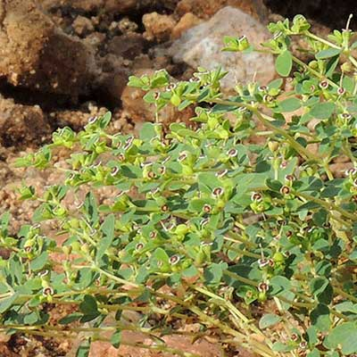 Small-seed Sandmat, Chamaesyce polycarpa, Photo by Michael Plagens