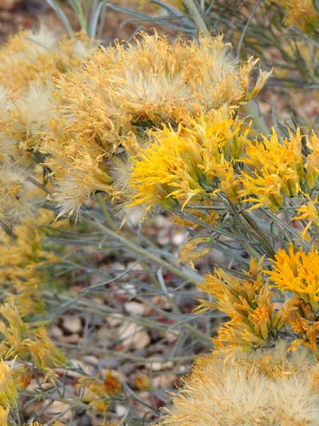 Yellow Rabbitbrush, Chrysothamnus viscidiflorus, photo © by Mike Plagens