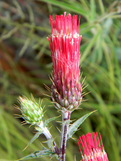 Arizona Thistle, Cirsium arizonicum, photo © by Mike Plagens