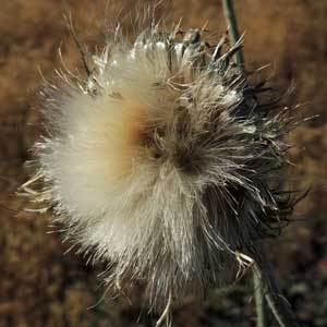 head of seeds and plumose bristles, New Mexico Thistle, Cirsium neomexicanum, photo © by Michael Plagens