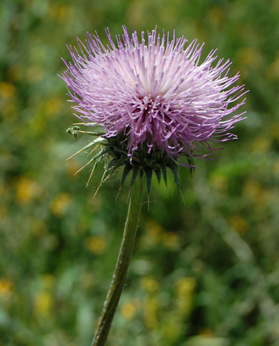 New Mexico Thistle, Cirsium neomexicanum, photo © by Michael Plagens