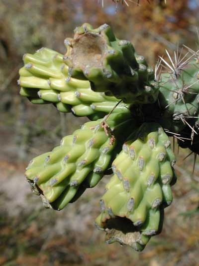 Mature fruit of Cane Cholla, Cylindropuntia spinosior, photo © by Michael Plagens