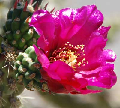 Flower of Cane Cholla, Cylindropuntia spinosior, photo © by Michael Plagens