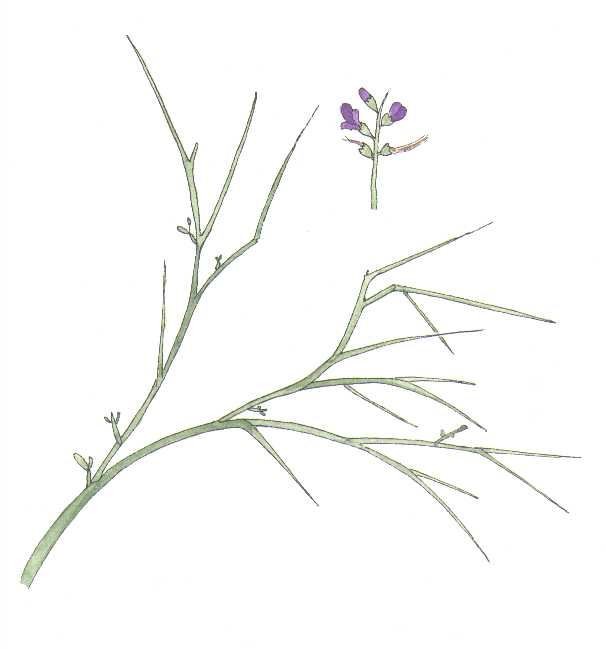 Smokethorn, Psorothamnus spinosus, Watercolor © by Michael Plagens