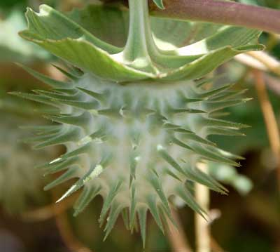Mature fruit of Datura discolor photo © by Michael Plagens