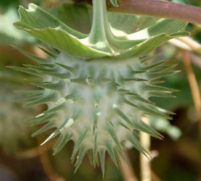 Mature fruit of Datura discolor photo © by Michael Plagens