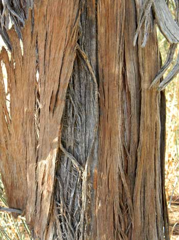 Ephedra trifurca close-up of trunk and bark texture © by Michael J. Plagens