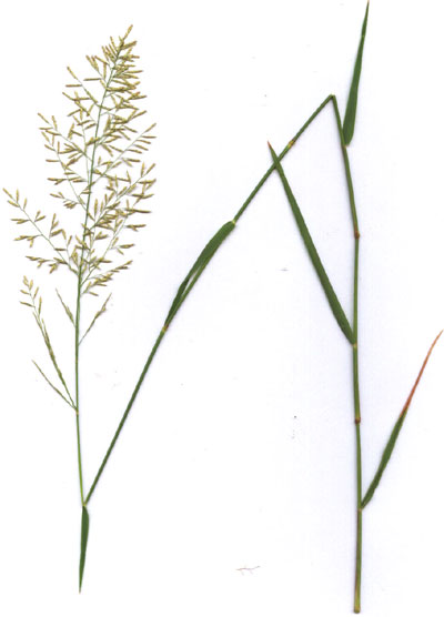 Distichlis spicata, salt grass, photo © by Michael Plagens