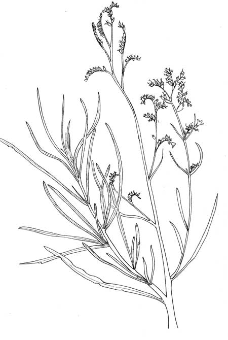 Pen & Ink illustration of Yerba Santa, Eriodictyon angustifolium, copyright by Michael Plagens