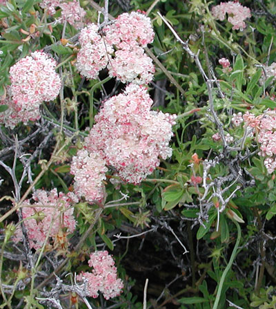 Capitate inflorescence of Flat-topped buckwheat, Eriogonum fasciculatum. Photo © Mike Plagens