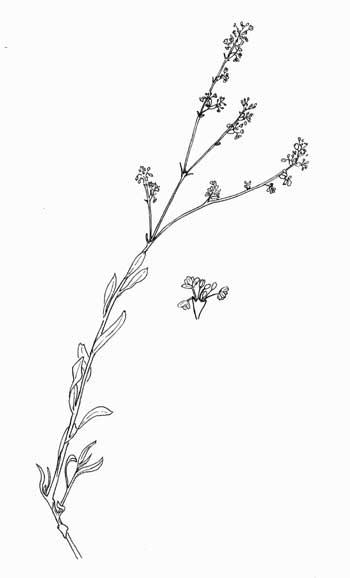 Eriogonum wrightii, Wright's Buckwheat, Pen & Ink Illustration © by Michael Plagens
