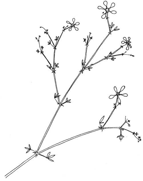 Fagonia laevis © by Michael Plagens