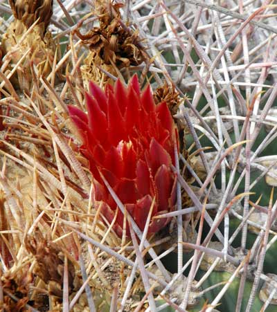 Coville's Barrel Cactus, Ferocactus emoryi, photo © by Michael Plagens