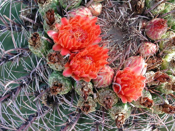 Fishhook Barrel Cactus, Ferocactus wislizenii, photo by Mike Plagens