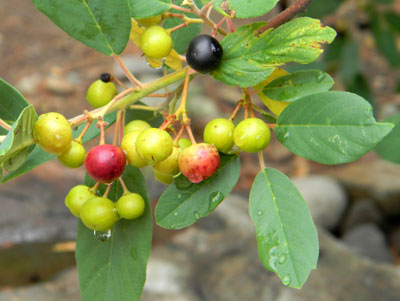 ripening berries of California Buckthorn, Frangula californica, photo © by Michael Plagens