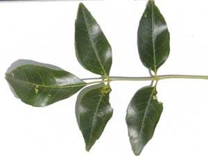 Single-leaf Ash, Fraxinus anomola, photo © by Michael Plagens
