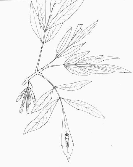 Velvet Ash, Fraxinus velutina, pen & Ink © by Michael Plagens