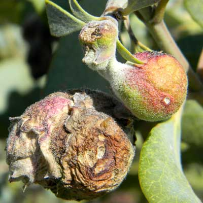 shoot gall caused by an insect larva on Ashy Silktassel, Garrya flavescens, photo © by Mike Plagens