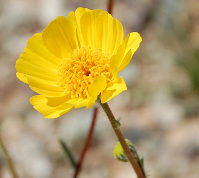 Desert Sunflower, Geraea canescens, photo © by Michael Plagens