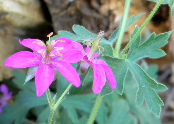Piney-woods Gerenium, Geranium caespitosum, photo © by Michael Plagens